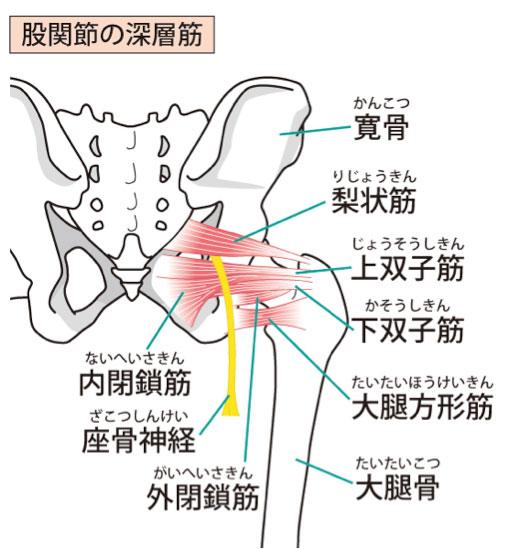 股関節につながる筋肉群